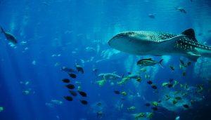 Whale Shark Cancun Paradise